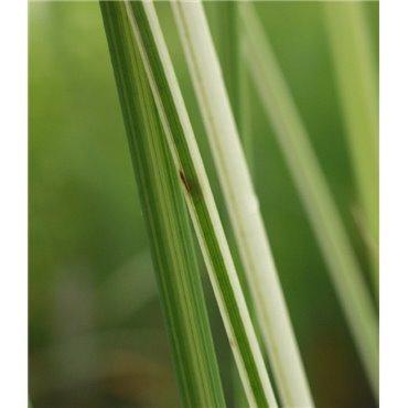 "Scirpus lacustris "" Albescens""( Teichbinse, grün-weiss gestreift )"