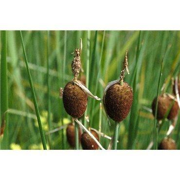 Typha minima (Massette nain)