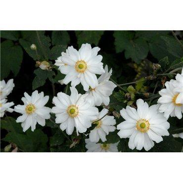 Anemone hybrides Honorine Jobert (anemone)