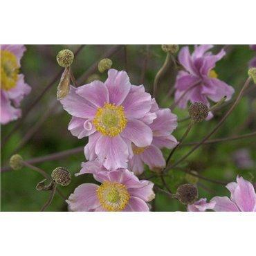 Anemone hybride Königin Charlotte (anemone)