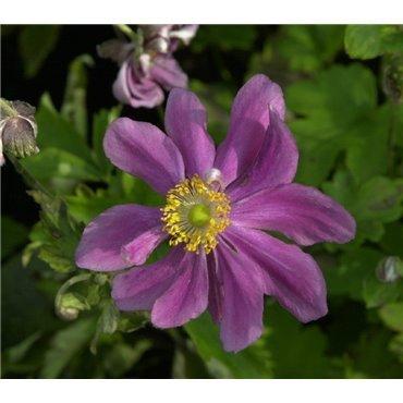 Anemone hybride Prinz Henrich (anemone)