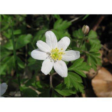 Anemone nemerosa ( Buschwindröschen )