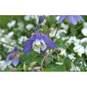 Aquilegia caerulea Spring Magic Blue (ancolie)