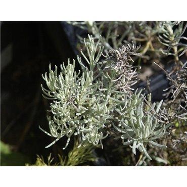 Helichrysum italicum ( Currykraut )
