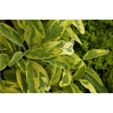 Salvia officinalis Icterina (Sauge, vert-jaune)