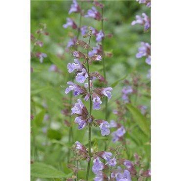 Salvia officinalis ( Salbei, purpur)