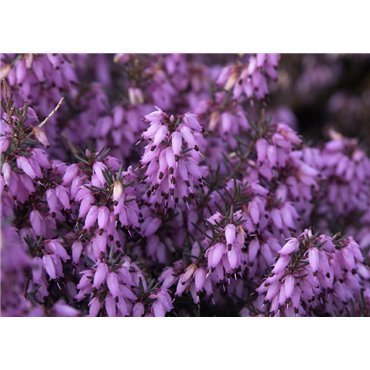 "Erica carnea ""March Seedling ""(Bruyère carnée)"