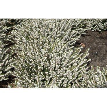 Erica X darleyensis, blanche (Bruyère de Darley)