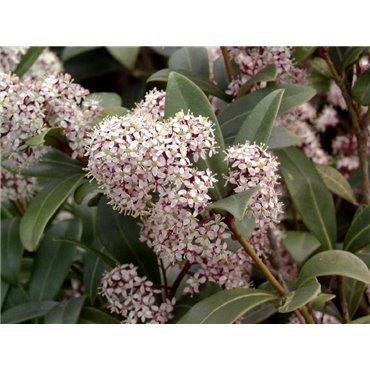 skimmia japonica ( Skimmie )