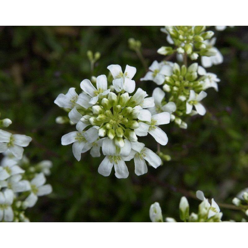 "Arabis ferdinandii ""Variegata"" (arabette ou corbeille d'argent)"