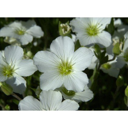 Arenaria montana (Sabline)