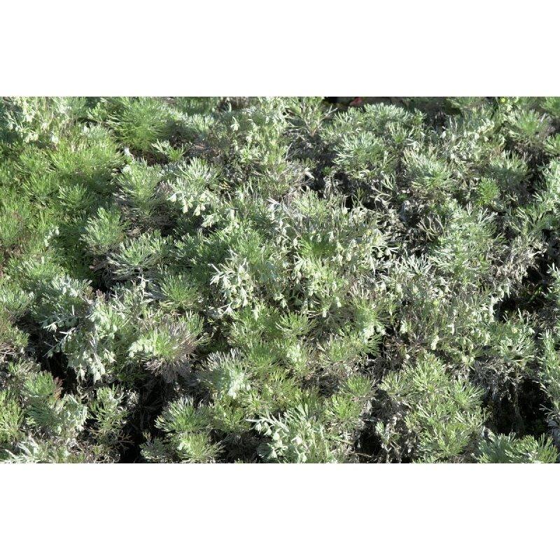 """Artemisia schmidtiana """"Nana"""" (absinthe)"""