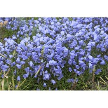 Campanula cochleariifolia ( Zwerg-Glockenblume)