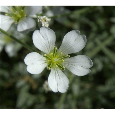 Cerastium tomentosum ( Silber-Hornkraut)