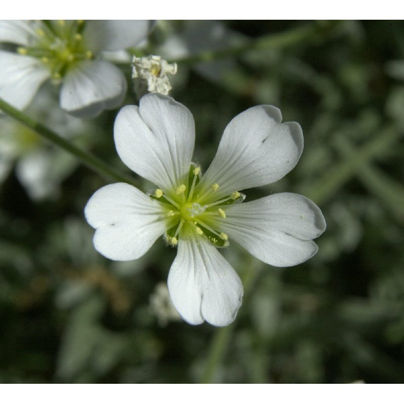 Cerastium tomentosum (Céraiste)