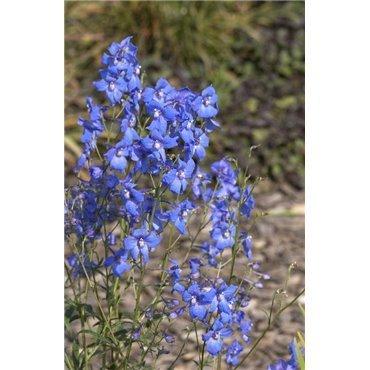 """Delphinium belladonna-hyb.""""Piccolo"""" (Pied d'alouette)"""