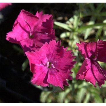 """Dianthus gratianopolitanus """"Badenia"""" (oeillet)"""