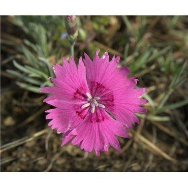 """Dianthus gratianopolitanus """"Feuerhexe"""" (oeillet)"""
