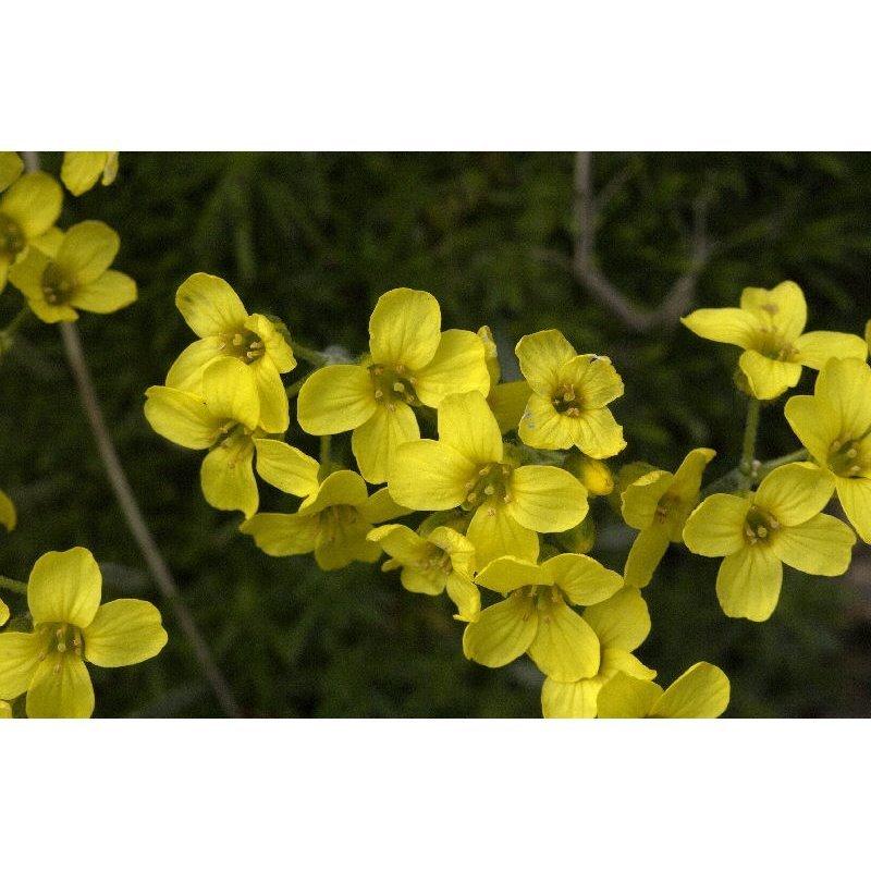 Draba bruniifolia (Drave)