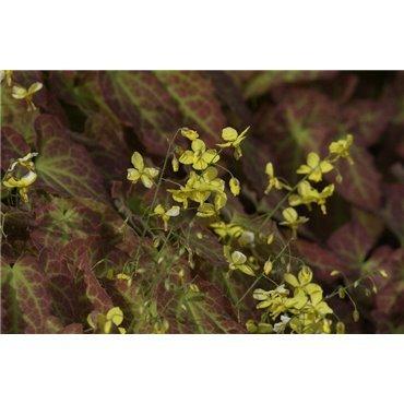 """Epimedium perralchicum """"Frohnleiten"""" (Fleur des elfes)"""
