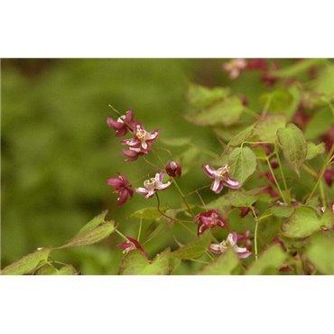 Epimedium rubrum ( Rote Elfenblume)