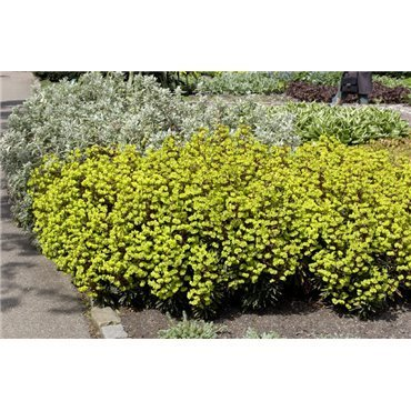 "Euphorbia amygdaloides ""Purpurea"" ( Mandelblätterige Wolfsmilch)"
