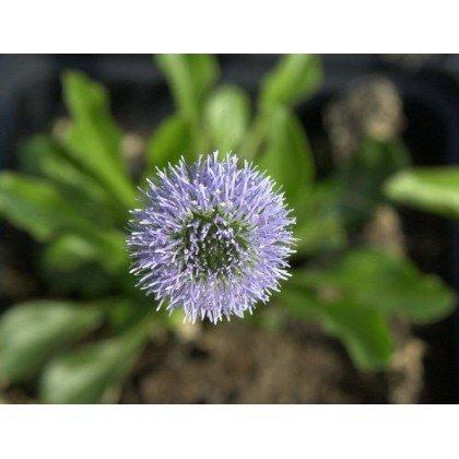 Globularia punctata ( Gewöhnliche Kugelblume)
