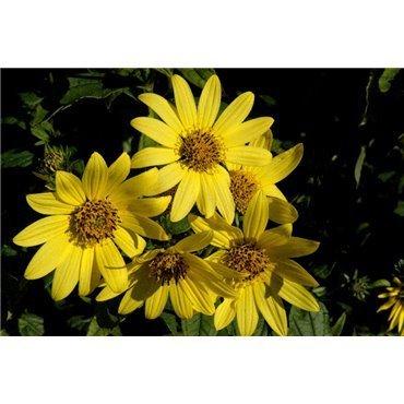"""Helianthus decapetalus """"Lemon Queen"""" (Tournesol)"""