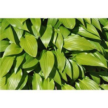 Hosta lancifolia (Hosta, Lanzenfunkie)