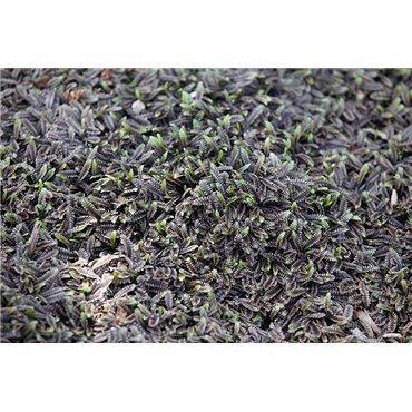 """Leptinella squalida """"Platt's black"""""""