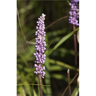 Liriope muscari ( Lilientraube )
