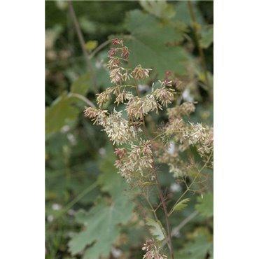 Macleaya cordata (Bocconie)