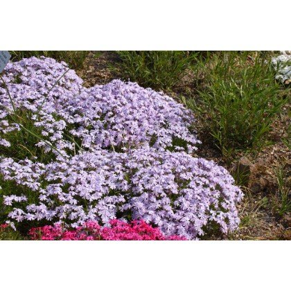 "Phlox subulata ""Emerald Cushion blue"""