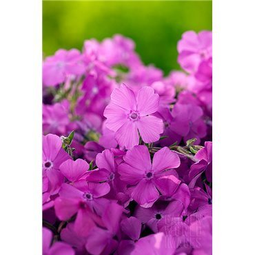 "Phlox subulata ""Mac Daniel's Cushion"" ( Polsterphlox)"