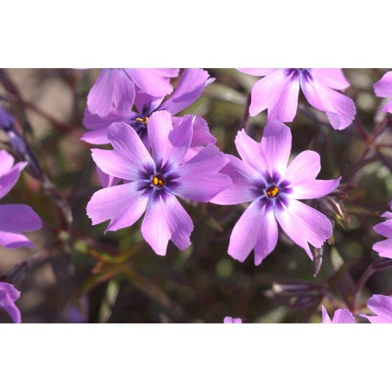 "Phlox subulata ""Purple Beauty"""
