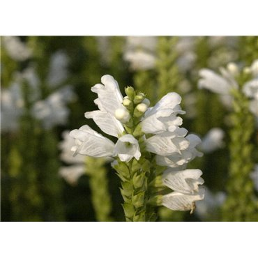 "Physostegia virginiana ""Summer Snow"" (Cataleptique)"