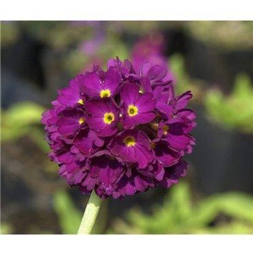 """Primula denticulata """"Rubin"""" ( Kugelprimel, rubinrot)"""