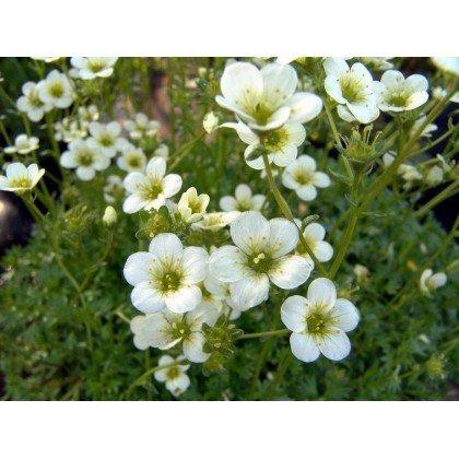 """Saxifraga arendsii """"Pixie White"""" (Saxifrage)"""