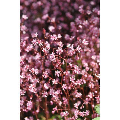 Saxifraga urbium (Saxifrage)