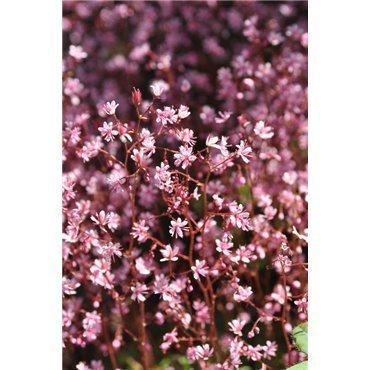 Saxifraga urbium ( Porzellanblümchen)