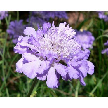 """Scabiosa columbaria """"Butterfly Blue"""" ( Witwenblume)"""