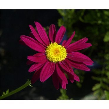 "Tanacetum coccineum ""Robinson's red"" (Pyrèthre)"