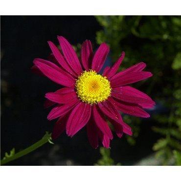 """Tanacetum coccineum """"Robinson's red"""" ( Gartenmargerite, Feuermargerite)"""