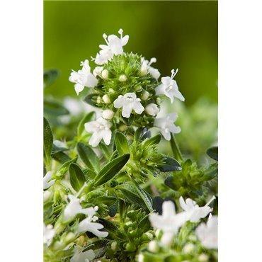 "Thymus praecox ""Albiflorus"" (Thym)"