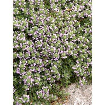 """Thymus praecox """"Pseudolanuginosus"""" (Thym)"""