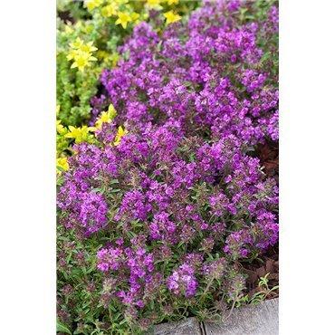"Thymus praecox ""Purple beauty"" (Thym)"