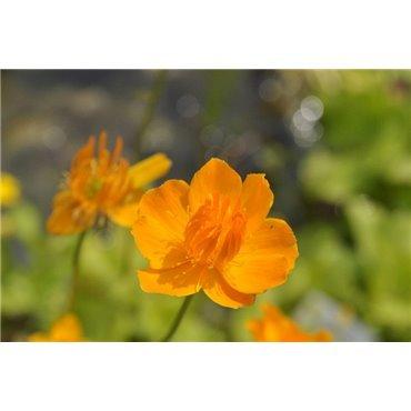 """Trollius chinensis """"Goldkönigin"""" ( Chinesische Trollblume)"""