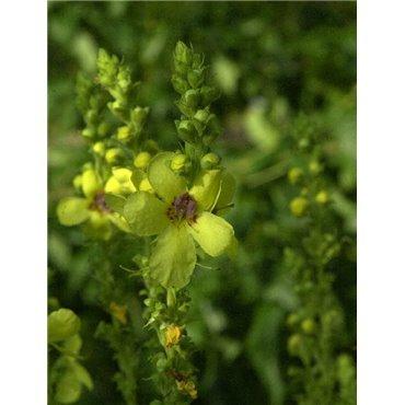 Verbascum olympicum (Molène)
