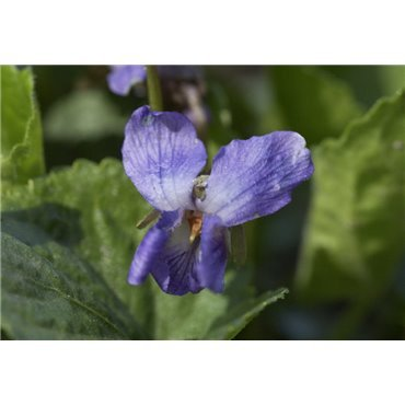 Viola odorata (Violette)