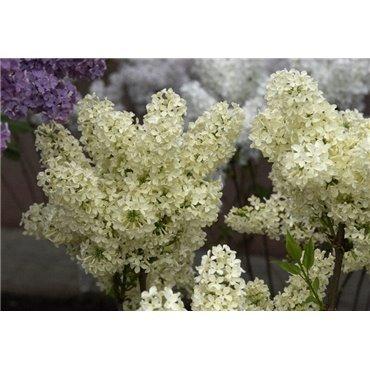 Syringa vulgaris Primrose (lilas de nos jardins)